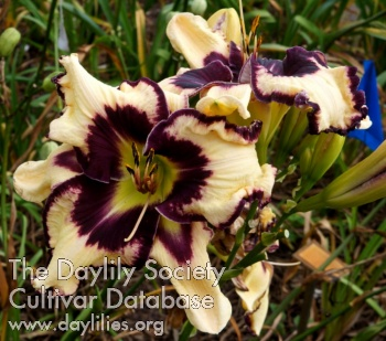 Daylily Photo - Roxy Roo