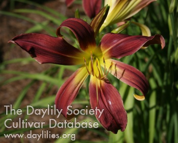 Daylily Photo - Royal Elk