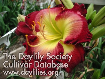 Daylily Photo - Royal Extravaganza