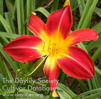Daylily Photo - Ruby Spider
