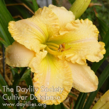 Daylily Photo - Ruffled Dude