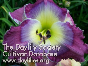 Daylily Photo - Running Blue