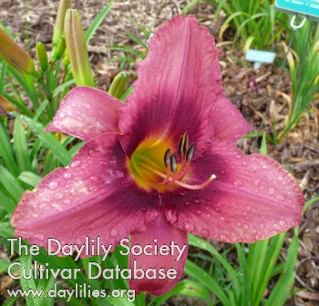 Daylily Photo - Russian Rhapsody