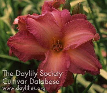 Daylily Photo - Ruth Whitten