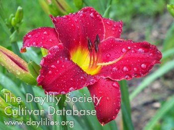 Daylily Photo - Red Razzmatazz