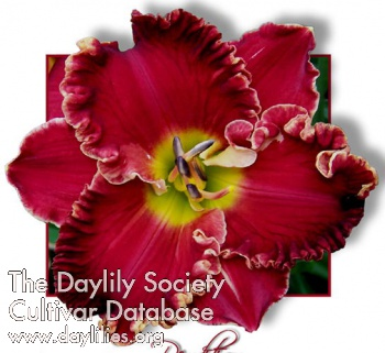 Daylily Photo - Rendition