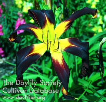 Daylily Photo - Rolling Raven
