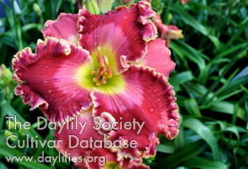 Daylily Photo - Rose Palace