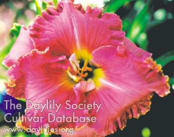 Daylily Photo - Ruffled Masterwork