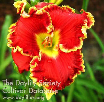 Daylily Photo - Running Hot