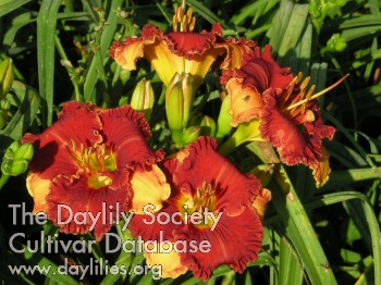 Daylily Photo - Spacecoast Color Scheme