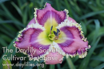 Daylily Photo - Shards