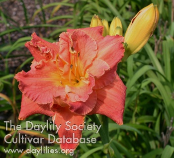Daylily Photo - Southern Sweetie