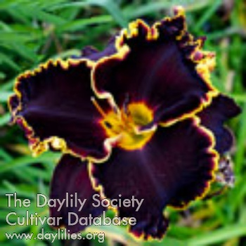 Daylily Photo - Spacecoast Black Sensation