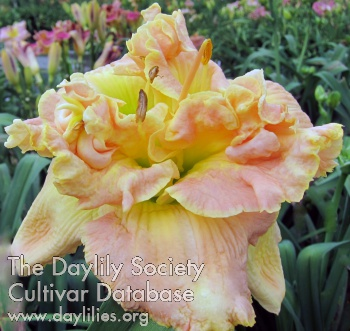 Daylily Photo - Stacked to the Sky