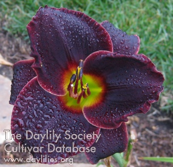 Daylily Photo - Salieri