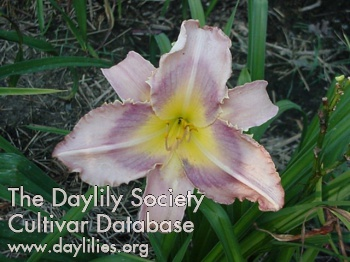 Daylily Photo - Shark's Tooth