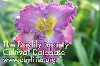 Daylily Photo - Shimmer Down
