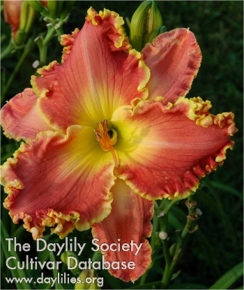 Daylily Photo - Simple Treasures