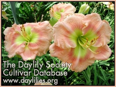 Daylily Photo - Simply Glorious