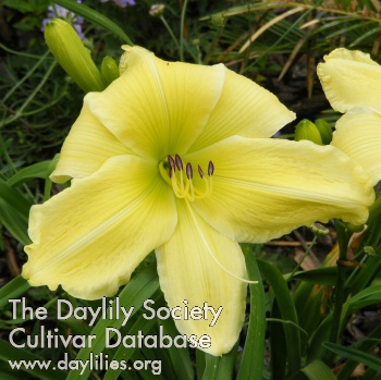 Daylily Photo - Slade Brown