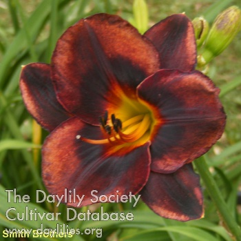 Daylily Photo - Smith Brothers