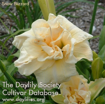Daylily Photo - Snow Blizzard
