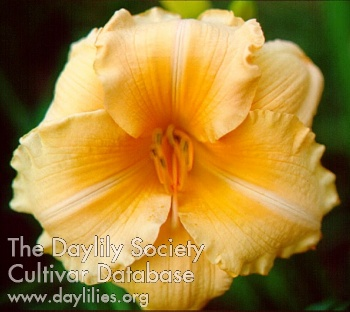 Daylily Photo - Song Of Spring