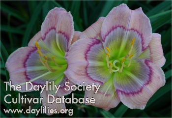 Daylily Photo - Sophisticated Statement