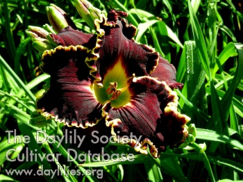 Daylily Photo - Spacecoast Dark Lord