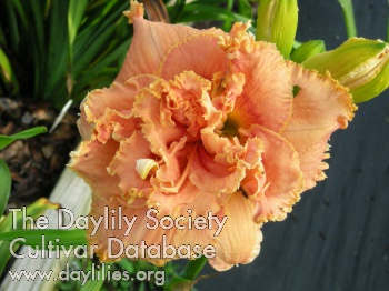 Daylily Photo - Spacecoast Double Standard
