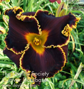 Daylily Photo - Spacecoast Hollywood Knights