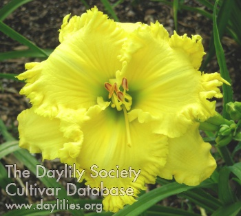 Daylily Photo - Spacecoast Lemon Pie