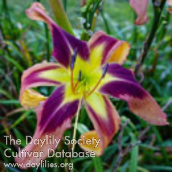 Daylily Photo - Spacecoast Eye Of The Tiger