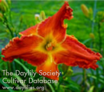 Daylily Photo - Spacecoast Marmalade Tiger