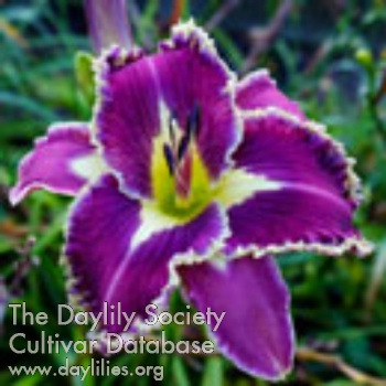 Daylily Photo - Spacecoast Moonlight Orchid