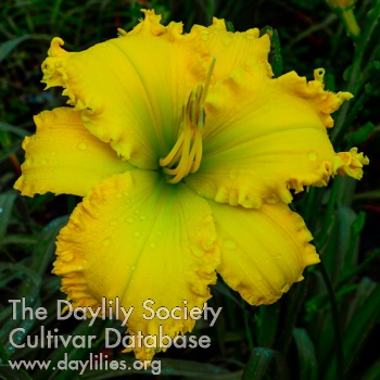 Daylily Photo - Spacecoast the Green Mile