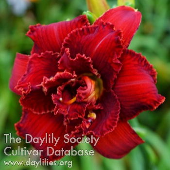 Daylily Photo - Spacecoast Scarlet Desire