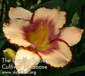 Daylily Photo - Spacecoast Carnival