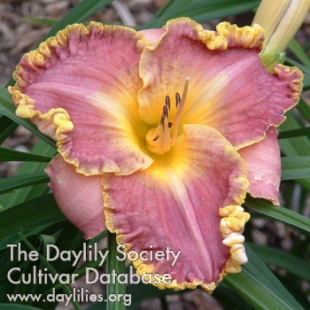 Daylily Photo - Spacecoast Cool Deal