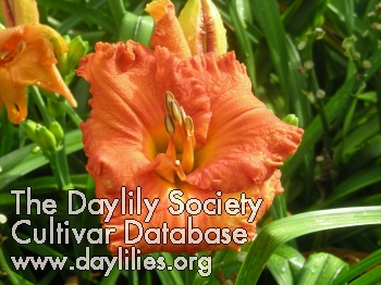 Daylily Photo - Spacecoast Hot Tamales