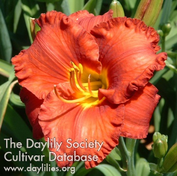 Daylily Photo - Spacecoast Hot Topic