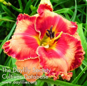 Daylily Photo - Spacecoast Lipstick Kisses