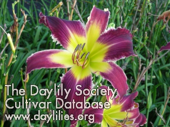 Daylily Photo - Spacecoast Loose Tooth