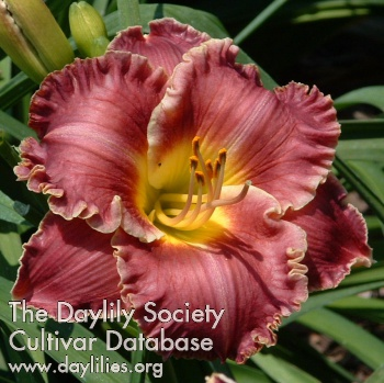 Daylily Photo - Spacecoast Surprise Purple