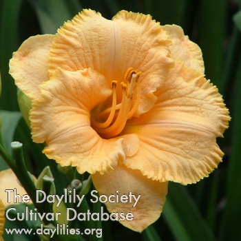 Daylily Photo - Spacecoast Tiny Perfection