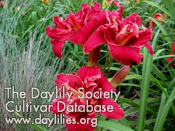 Daylily Photo - Sparks Prom Queen