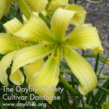 Daylily Photo - Spider Miracle