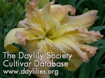 Daylily Photo - Spin And Twirl