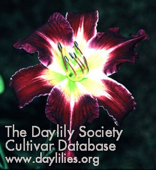 Daylily Photo - Stack The Deck